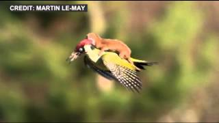Weasel Hitches Ride on Woodpecker