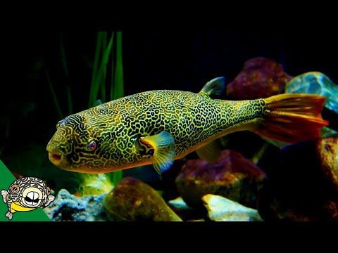 THE LARGEST FRESHWATER PUFFER. Tetraodon Mbu Puffer Fish Profile
