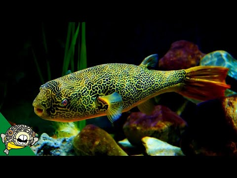 THE LARGEST FRESHWATER PUFFER. Tetraodon Mbu Puffer Fish Profile