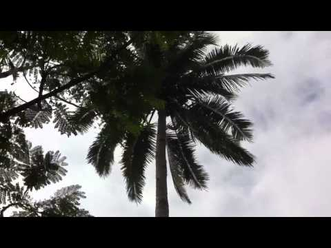 Indonesian worst job : coconut tree climber Travel Video