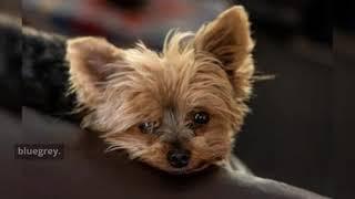 Australian Cattle Dog Breed Information | Temperament
