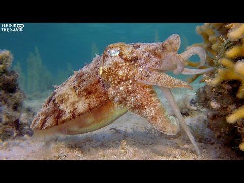 Pharaoh Cuttlefish  with Go Pro (Dahab - South Sinai - Egypt)