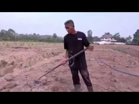 How to plant dwarf coconut