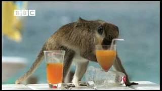 Repeat youtube video Drunk Monkeys Fail - Weird Nature