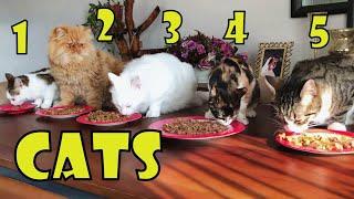 Friendship of Persian cat, Calico cat, Angora cat and 2 Tabby cats.