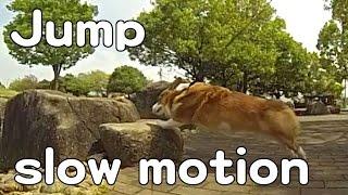 Jump Slow Motion / 身軽なゴローさん スローモーション 20150418 Goro@welsh Corgi コーギー Dog
