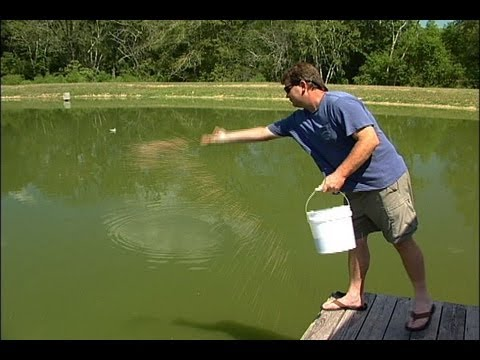 Feeding Bluegill