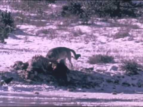 Northwestern Canadian Timber Wolves 720p