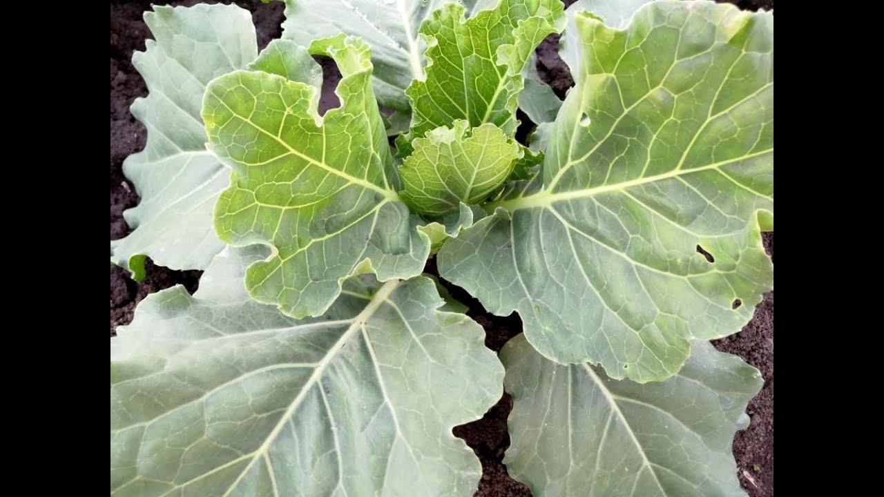 Защита капусты от вредителей народными средствами. Чем обработать капусту от вредителей без химии.