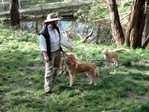 "Adventures in Australia: Special Edition ""Dingoes"""