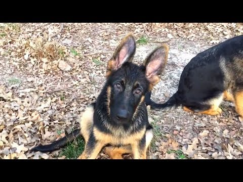 3 Month Old German Shepherd Puppy Howling - So Cute - Funny Dogs Compilation 2018