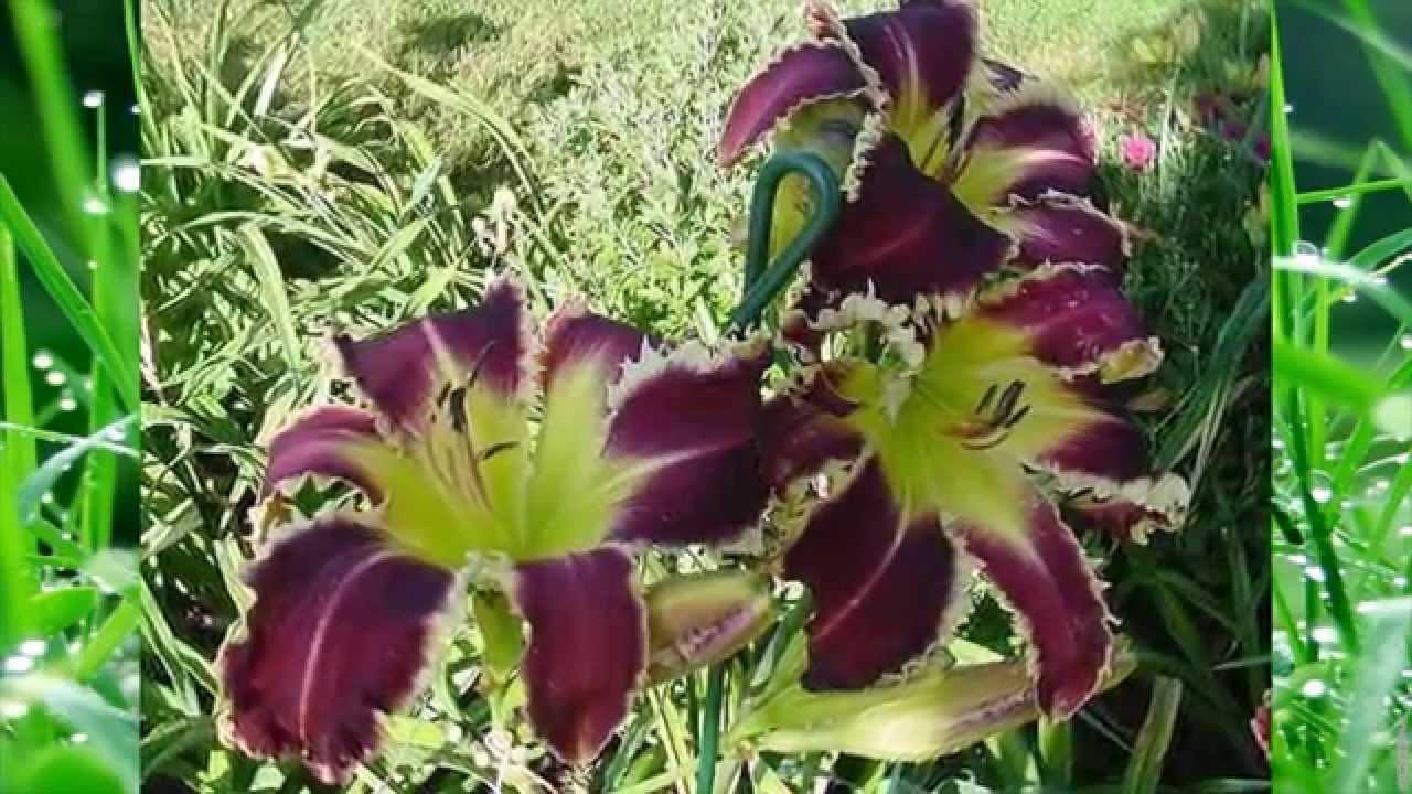 Лилейник в саду (каталог лилейников, краснодерев, лилейник ...