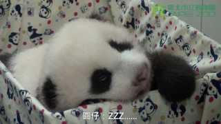 圓仔雙滿月體檢 The Giant Panda Baby Health Checkup