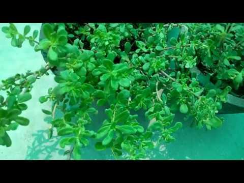 412 - How to grow n care PURSLANE (PORTULACA OLERACEA) - (Hindi - Urdu) - 1 /6/17