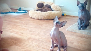 Sphinx Cats 😹 Fuฑny Hairless Cats [Funny Pets]