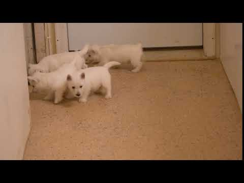 West Highland Terrier Puppies For Sale