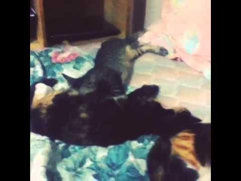 Kitten milking a friend not his mom