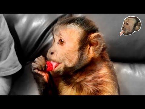 Capuchin Monkey Taste Test! Raspberry & Strawberry