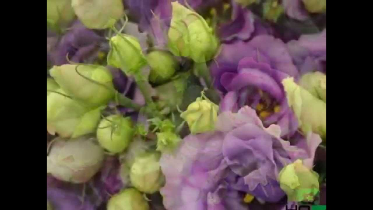 How to grow Lisianthus at home or in the garden (photo and video care tips)