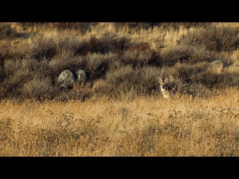 Dropping California Coyotes