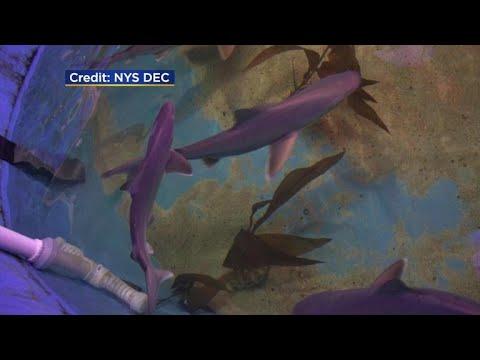 Quinn & Cantara Morning Show -  Duchess County Bro accused of storing seven sandbar sharks in his pool