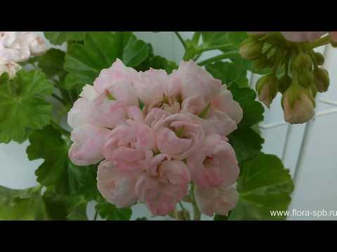 Marbacka Tulpan - тюльпановидная пеларгония. Коллекция Свирской Елены.