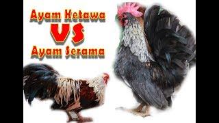 PET - Ayam Ketawa VS Ayam Serama