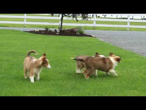 Shetland Sheepdog Puppies For Sale