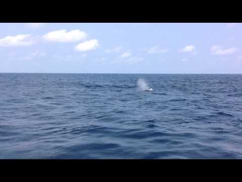 whales - baleia jubarte - Nigeria - AKPO Field