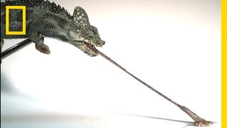 Tiny Chameleons' Tongues Pack Strongest Punch (High-Speed Footage)