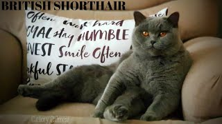 British Shorthair - who is the biggest glutton? Cattery Calmcat