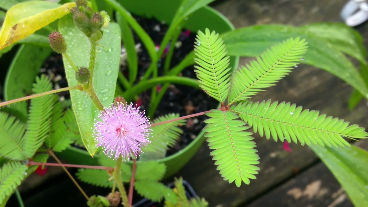 Mimosa Pudica/Touch-Me-Not/Shy Plant/Sensitive Plant/Shame ...