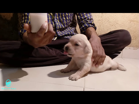 cerelac feeding to puppies day 17