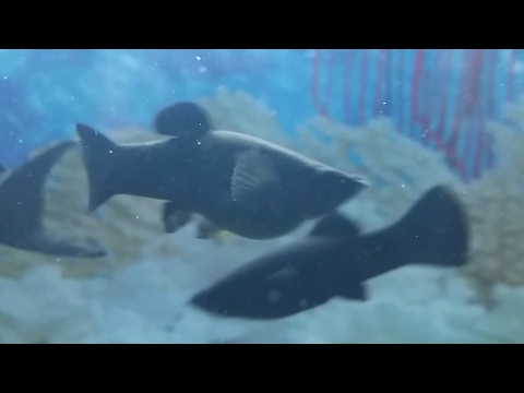 How To Tell If A Black Molly Fish Is Pregnant And When It Will Give Birth