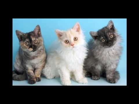Selkirk Rex Cat and Kittens | History of the Selkirk Rex Cat Breed