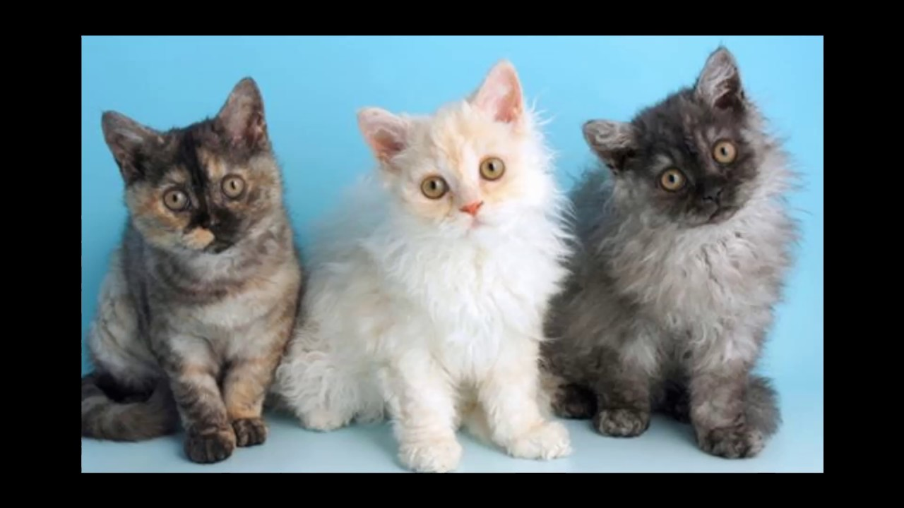 Selkirk Rex Cat and Kittens