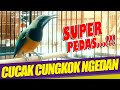 Cungkok Super Gacor Cungkok Ngerol Panjang Suara Pedas  Mp3 - Mp4 Download