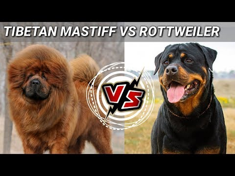 Tibetan mastiff Vs Rottweiler | in Hindi  | Dog Vs Dog