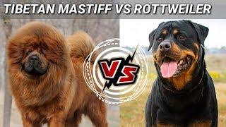 Tibetan mastiff Vs Rottweiler   in Hindi    Dog Vs Dog