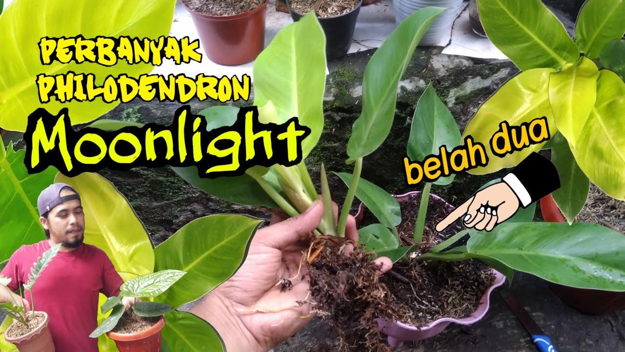 Cara Memperbanyak Philodendron Moonlight Lemon Mudah Youtube