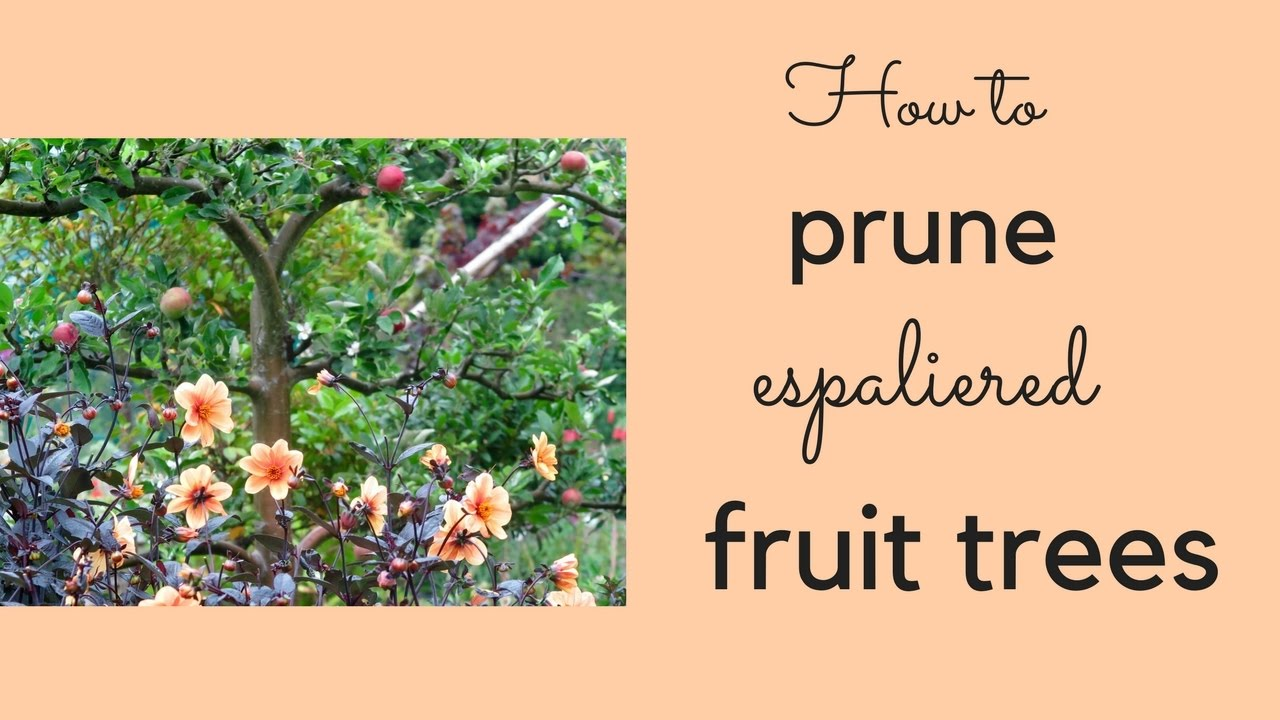 How To Winter Prune Espaliered Le And Pear Trees