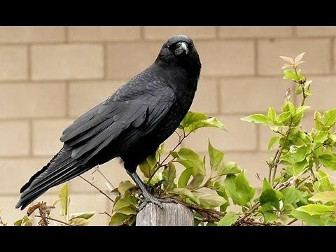 Crows National Geographic Documentary HD