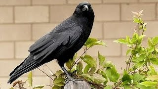 Crows National Geographic Documentary HD thumbnail