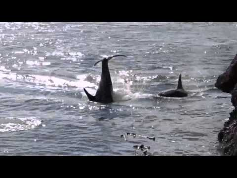 About 50 Orca killer whales playing in Active Pass, Galiano Island, British Columbia, Canada.