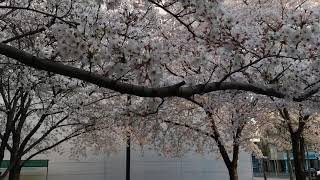 Musim Semi Korea 31 03 2019
