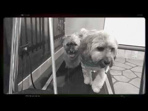 Puppies learning how to walk on treadmill on their own!  No leash!