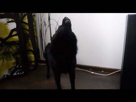 Jekku Schipperke howling   Jekku-schipperke ulvoo