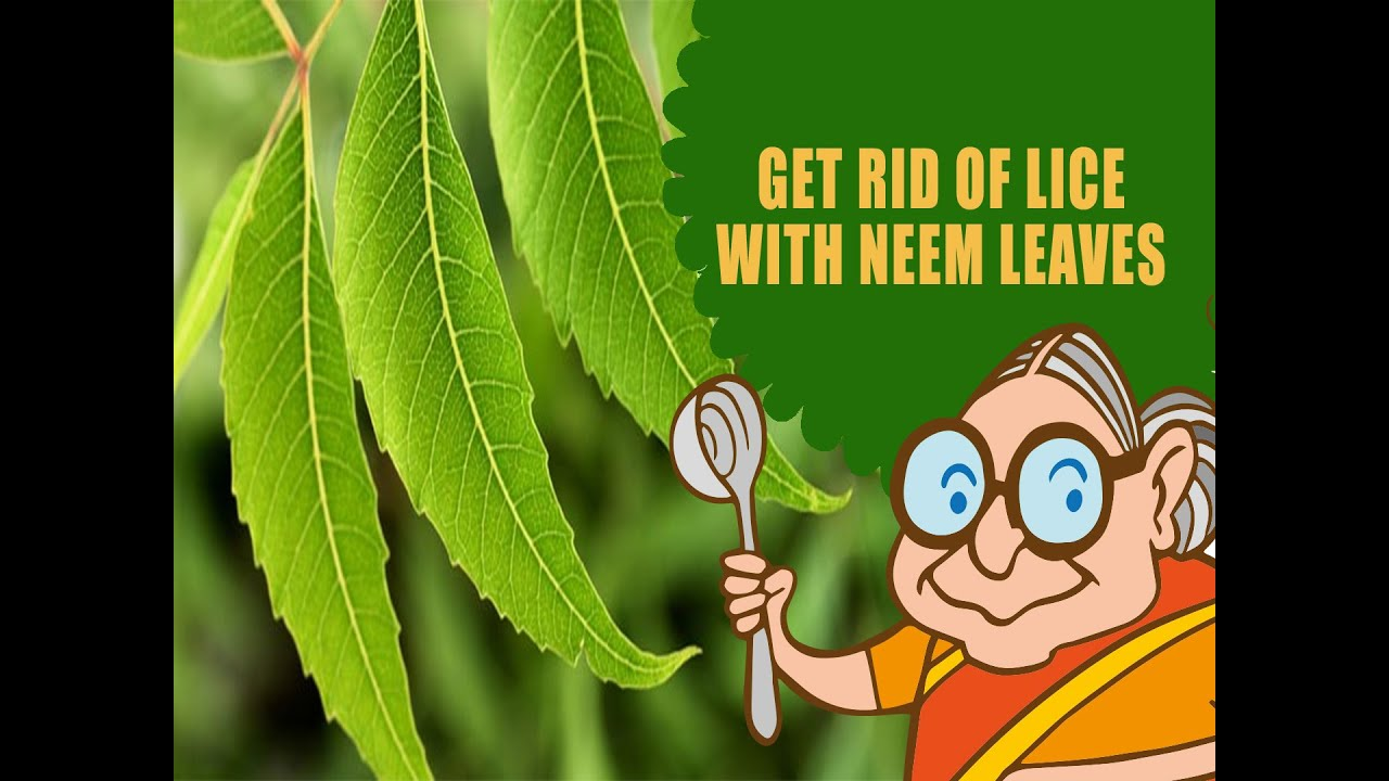 Lice nits ayurvedic natural home remedies to get rid of lice lice nits ayurvedic natural home remedies to get rid of lice nits with neem leaves hair care youtube ccuart Images