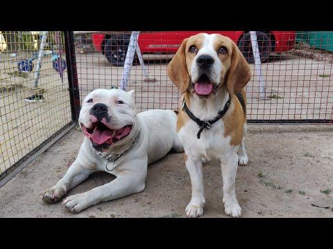 American Bully,Beagle Dog लेने से पहले ये विडियो जरूर देखें, Doggyz World