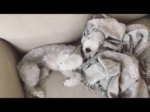 Bedlington Terrier - Good Morning Yves🤗